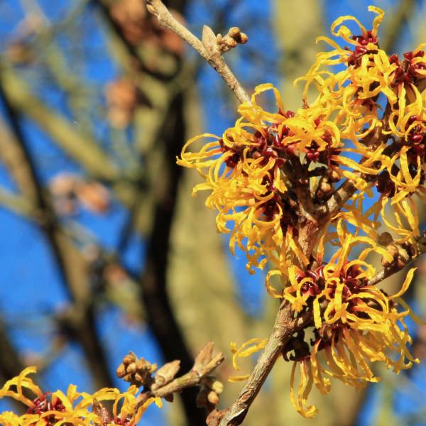 Witch-hazel_(Hamamelis)_In_Flower._RHS_Wisley_Garden_Surrey_UK